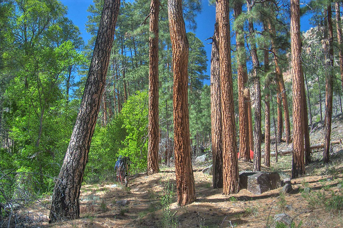 Walking through pine forest at the bottom of...Monument. New Mexico, near Los Alamos
