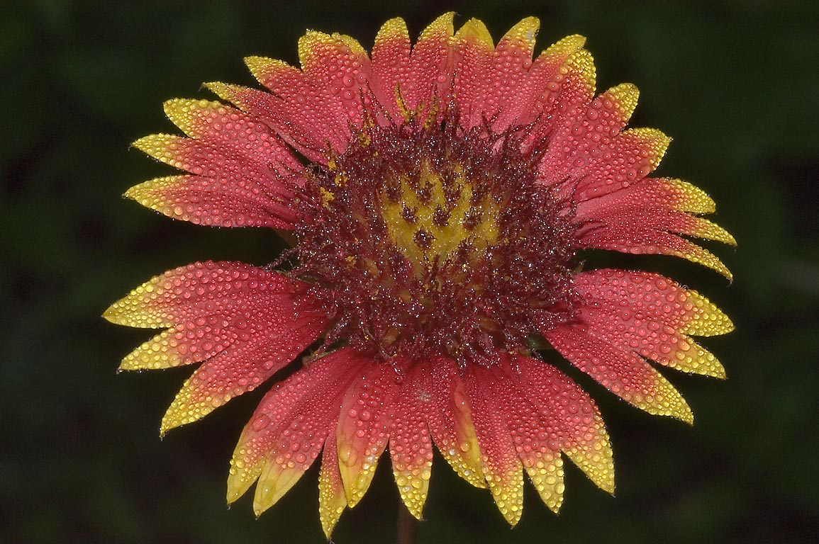 Indian blanket (Gaillardia pulchella) flower with...State Historic Site. Washington, Texas