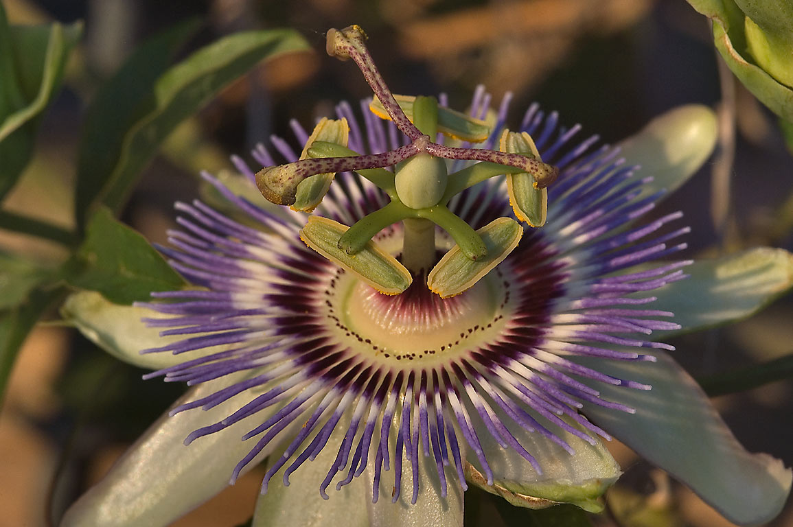 Passiflora (passion flower) in TAMU Holistic...M University. College Station, Texas