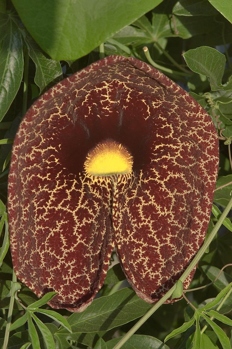 Aristolochia (pipevine) flower in TAMU...M University. College Station, Texas