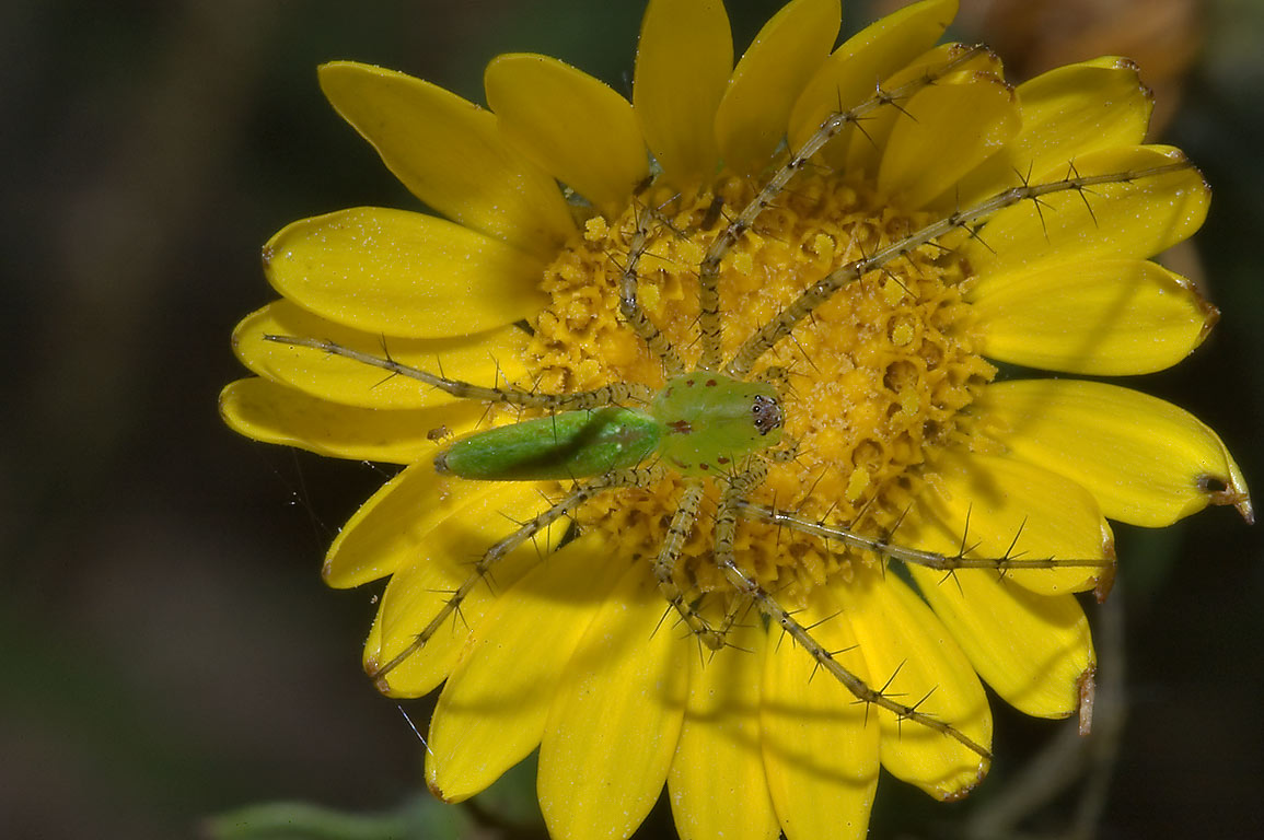 Green lynx spider on a yellow aster-like flower...Creek Park. College Station, Texas