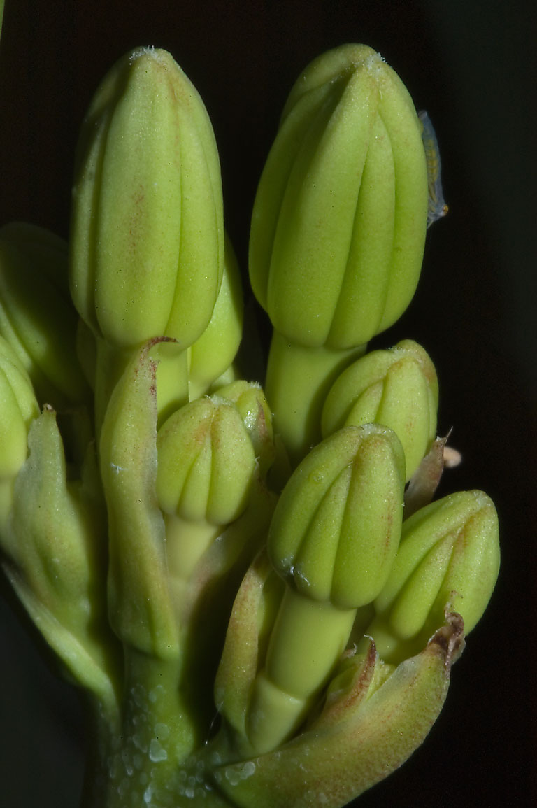 Yucca flower buds in TAMU Horticultural Gardens...M University. College Station, Texas