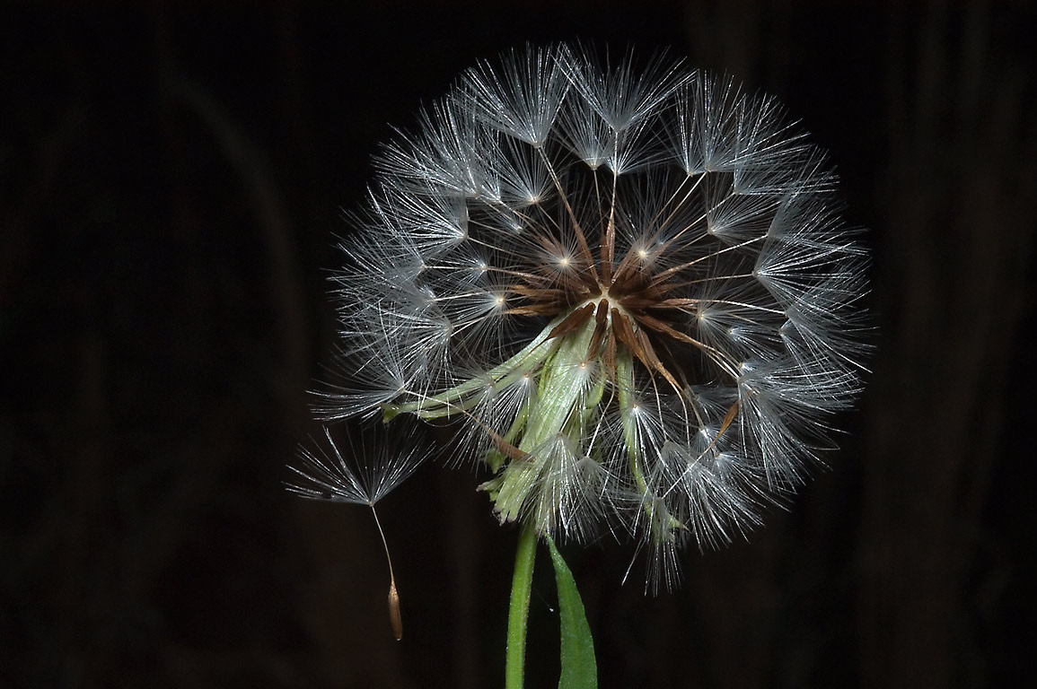 Seed head of Texas dandelion in Lick Creek Park. College Station
