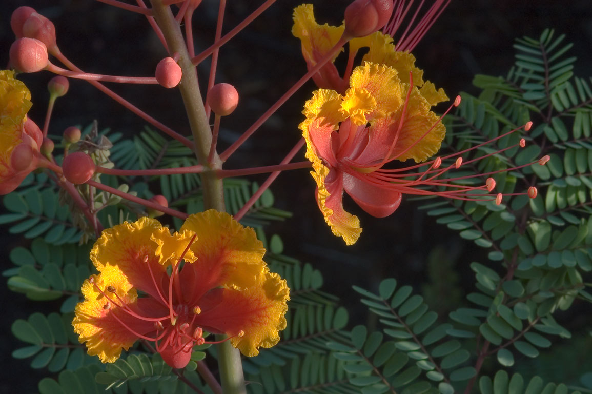 Caesalpinia pulcherrima (red bird of paradise...M University. College Station, Texas