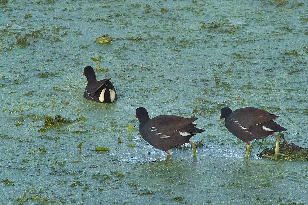Marsh birds with a green bullfrog in background...Bend State Park. Needville, Texas