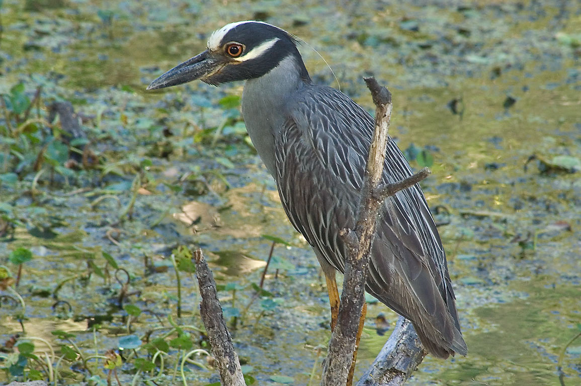 Yellow-crowned night-heron on west side of Elm...Bend State Park. Needville, Texas