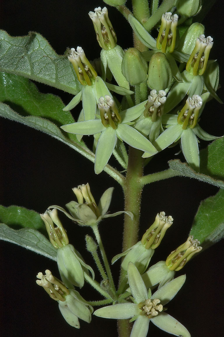 Inflorescence of Zizotes milkweed (Hierba de...State Historic Site. Washington, Texas