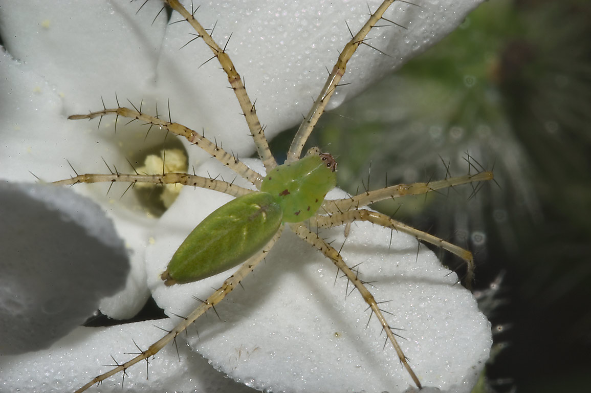 Green lynx spider on bull nettle (mala mujer) in...State Historic Site. Washington, Texas