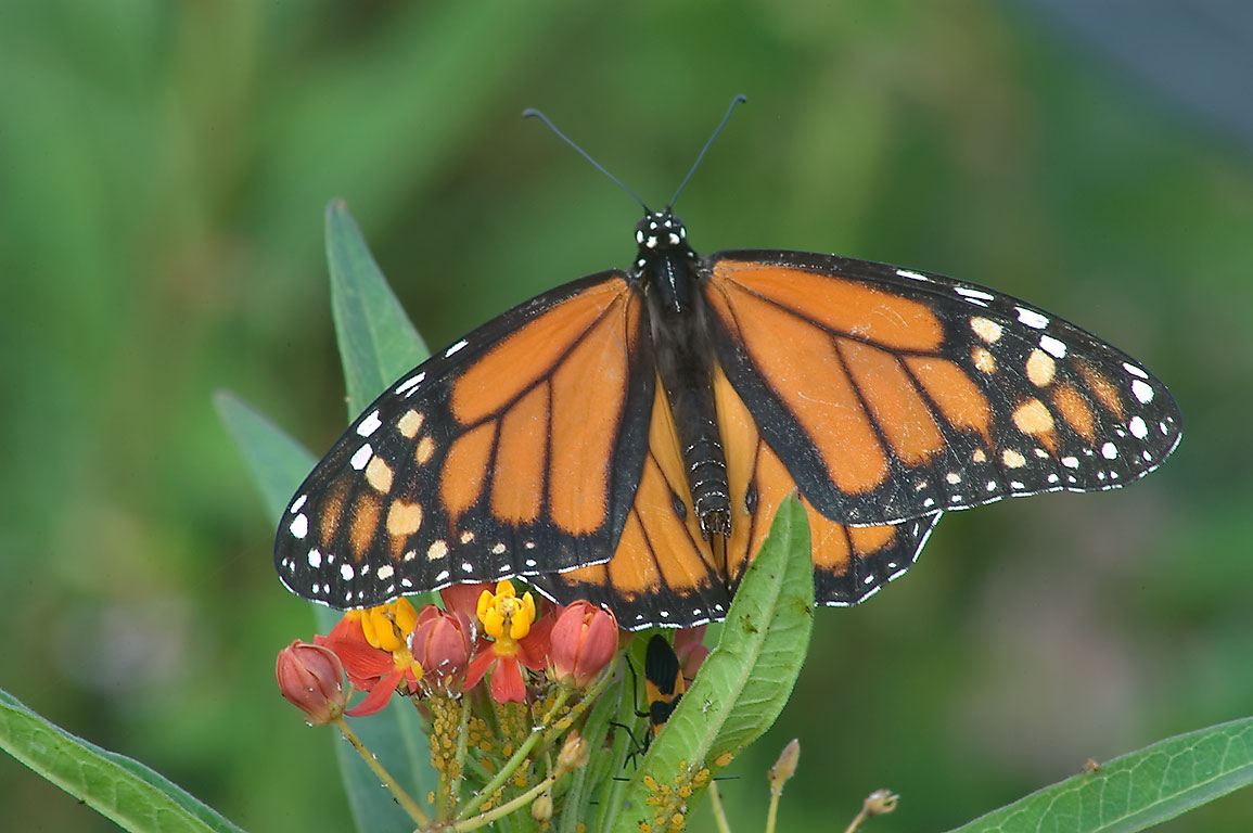 Monarch butterfly on red milkweed in TAMU...M University. College Station, Texas