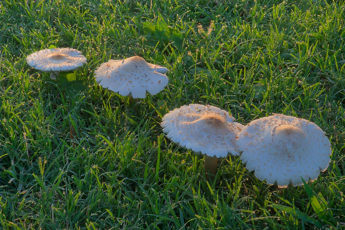 Green-gilled Lepiota (false parasol...M University. College Station, Texas