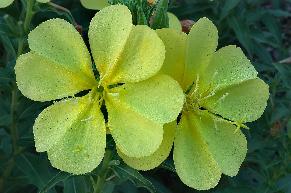 Large yellow flowers of Hooker's evening primrose...M University. College Station, Texas