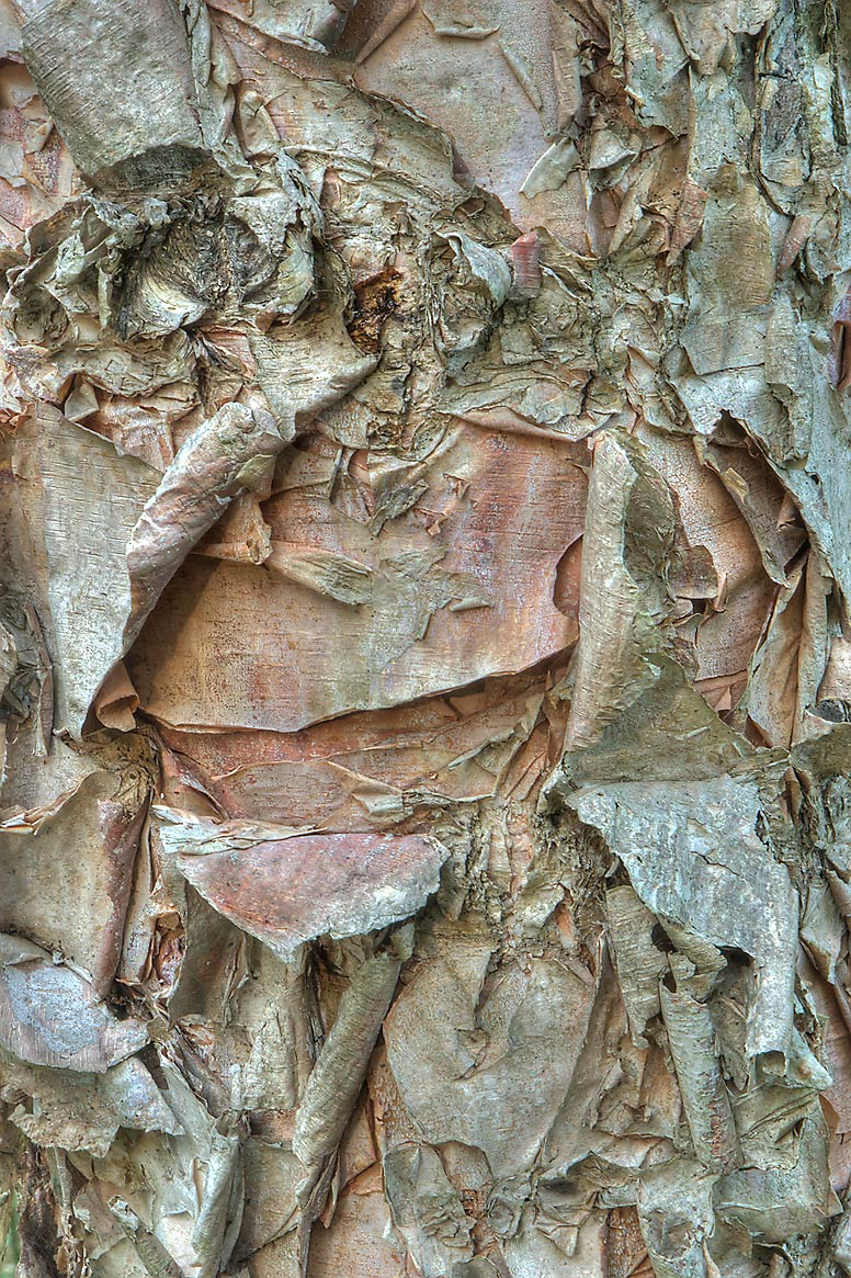 Brown and pinkish papery strips of bark of river...Creek Park. College Station, Texas