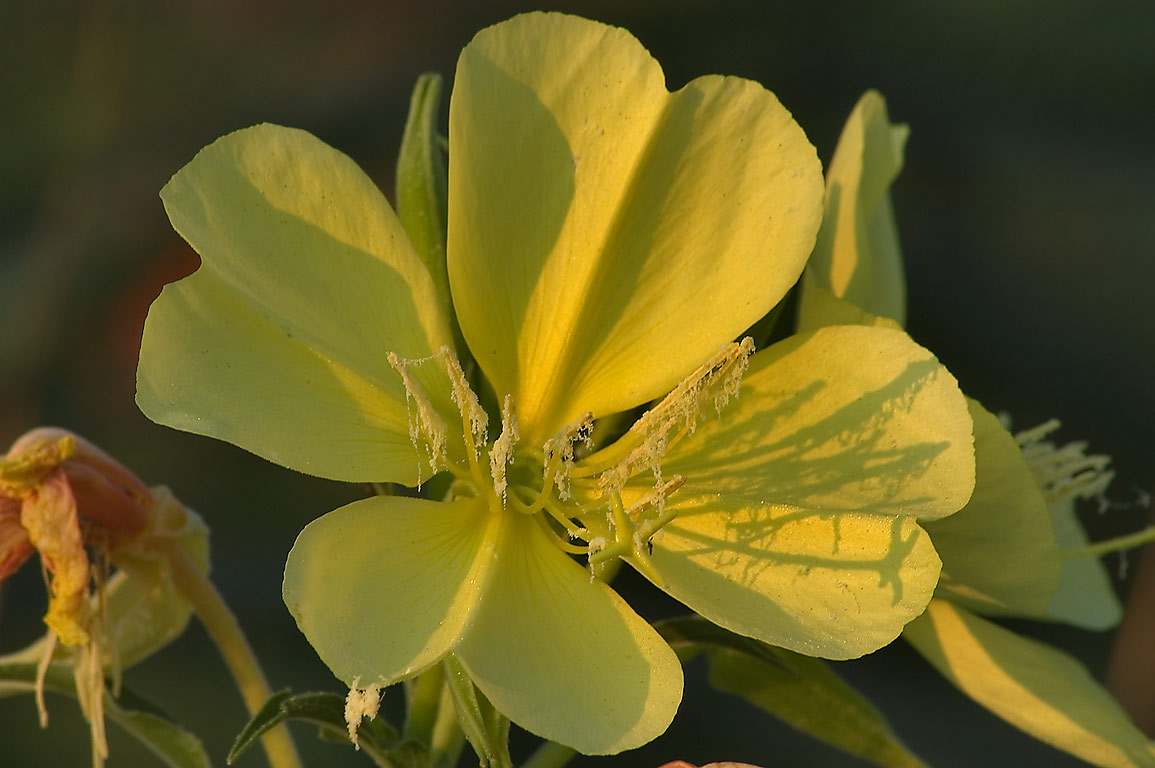 Yellow flower of Hooker's evening primrose...M University. College Station, Texas