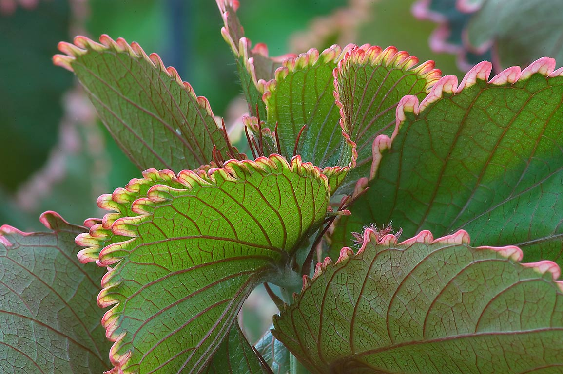 Acalypha wilkesiana (copper plant) in TAMU...M University. College Station, Texas