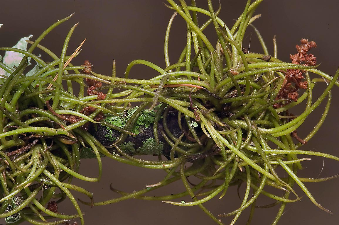 "Ball moss (Tillandsia recurvata) picked under an...storm ""Ike"". College Station, Texas"