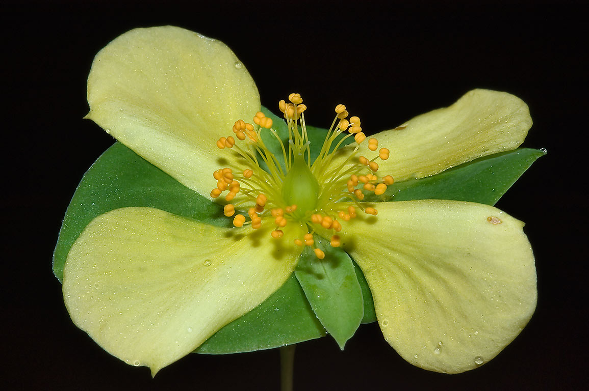 St. Andrew cross flower (Hypericum, Ascyrum...National Forest. Huntsville, Texas