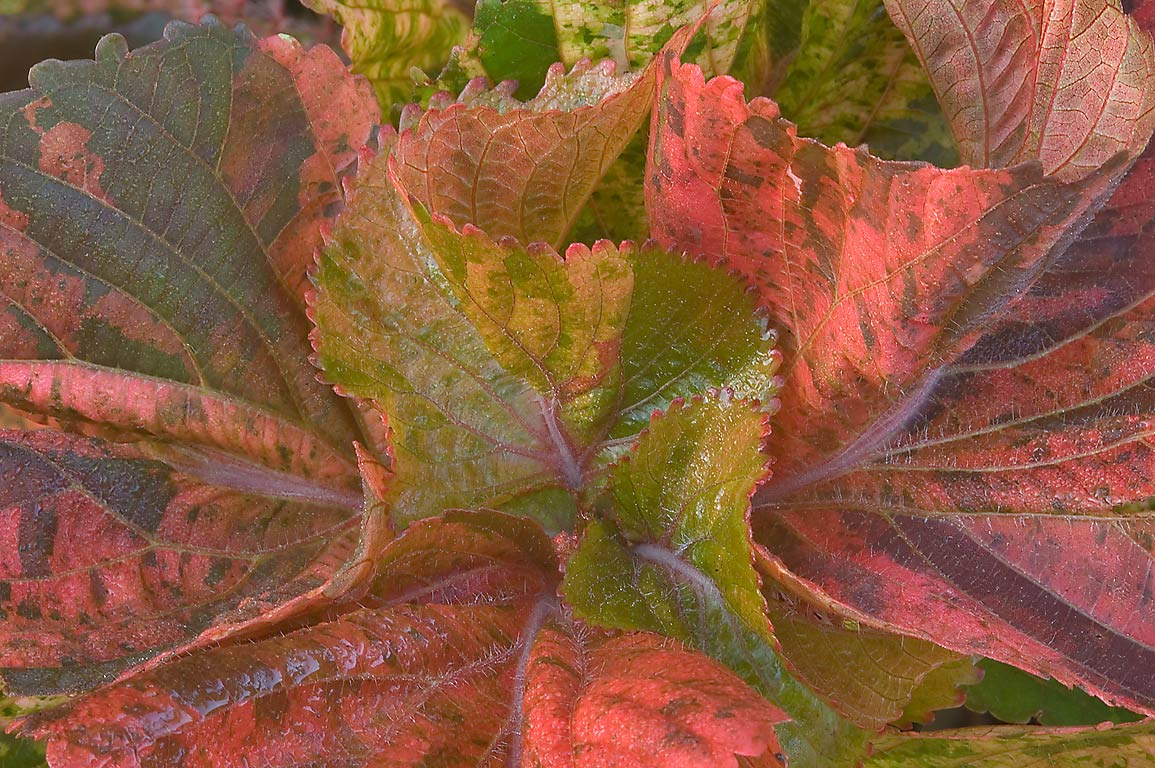 Red and green leaves of Acalypha wilkesiana in...M University. College Station, Texas