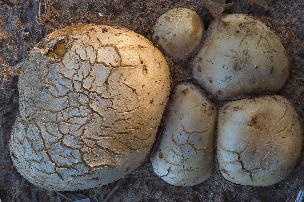 Tough puffball mushrooms with blackish interior...Creek Park. College Station, Texas