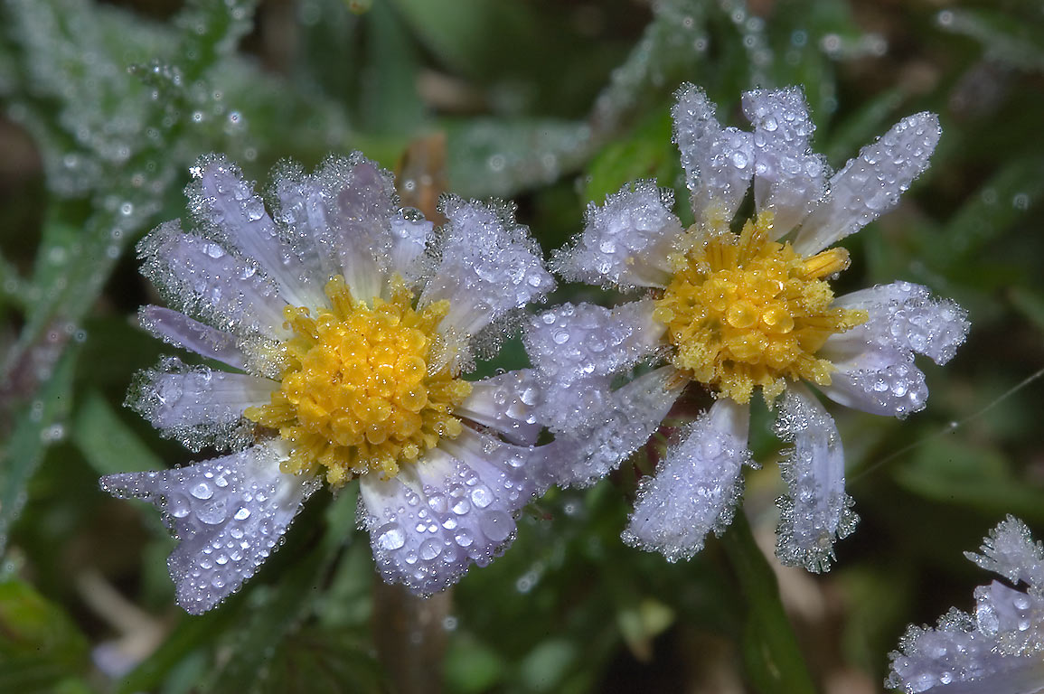 Lawn aster flowers with melting hoar in TAMU...M University. College Station, Texas
