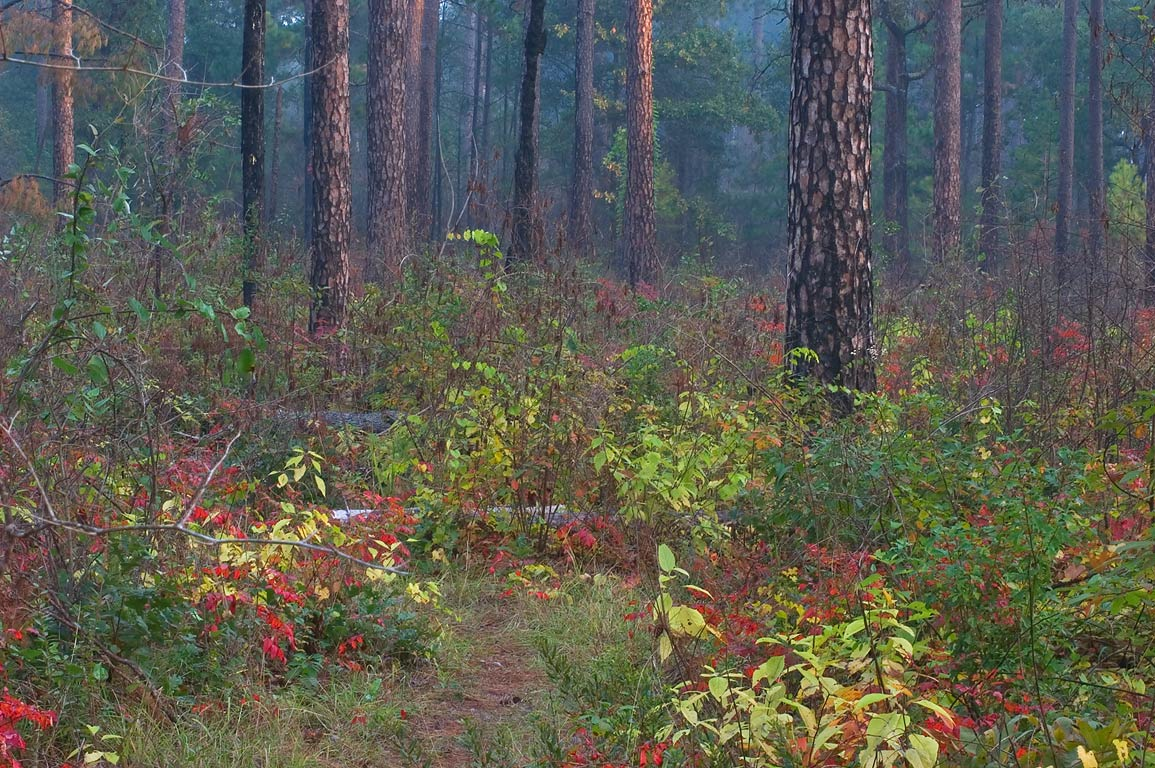 Fall colors of Sam Houston National Forest, on Little Lake Creek Loop Trail. Texas