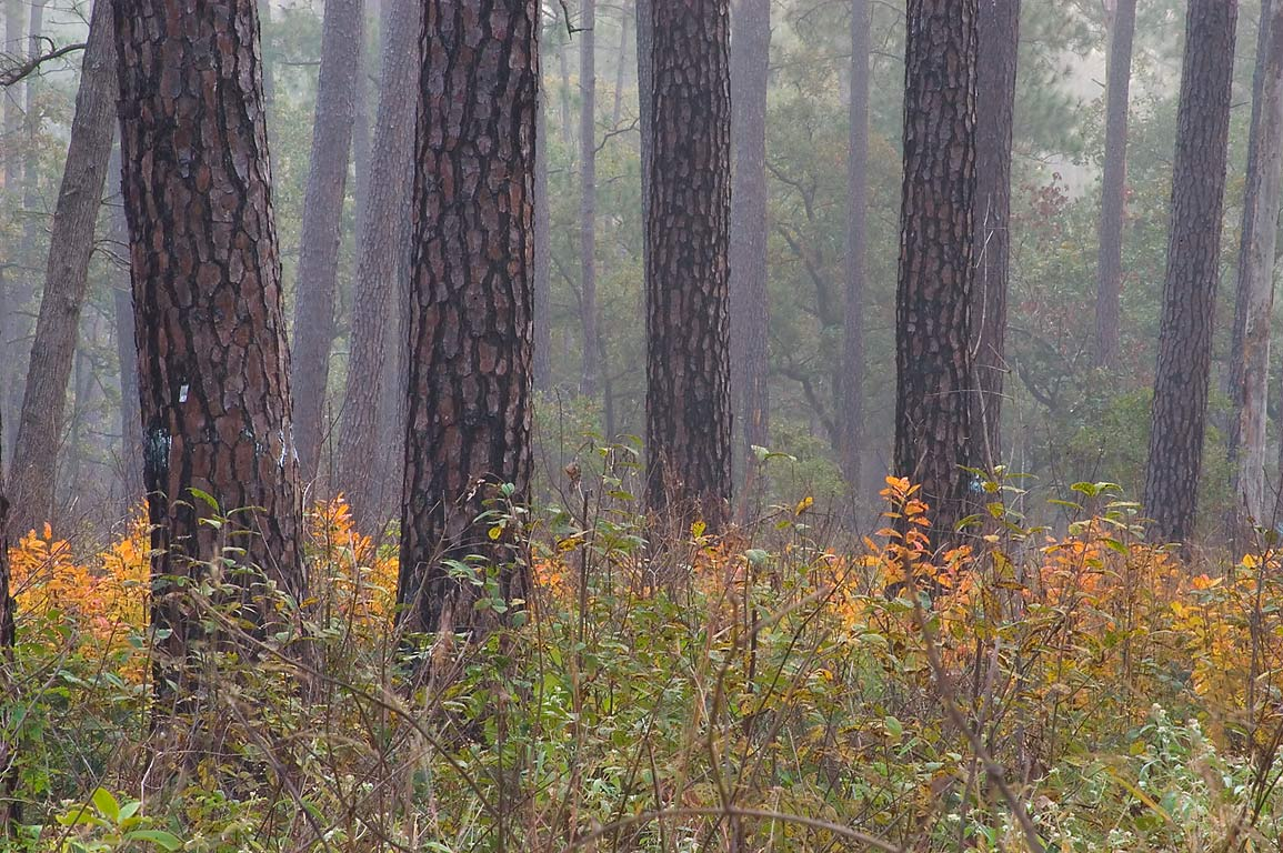 Pines in fog on Little Lake Creek Loop Trail in Sam Houston National Forest. Texas