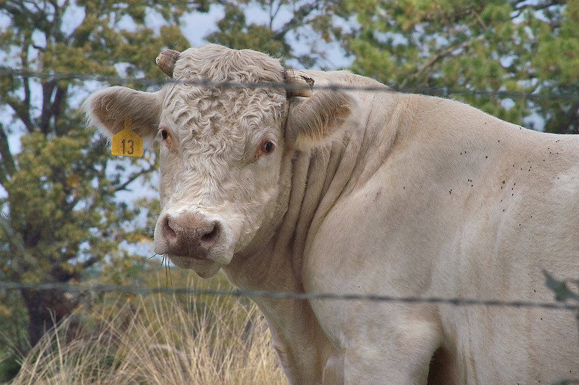 Bull No. 13 with trimmed horns behind barbed fence on Lynn St.. Richards, Texas