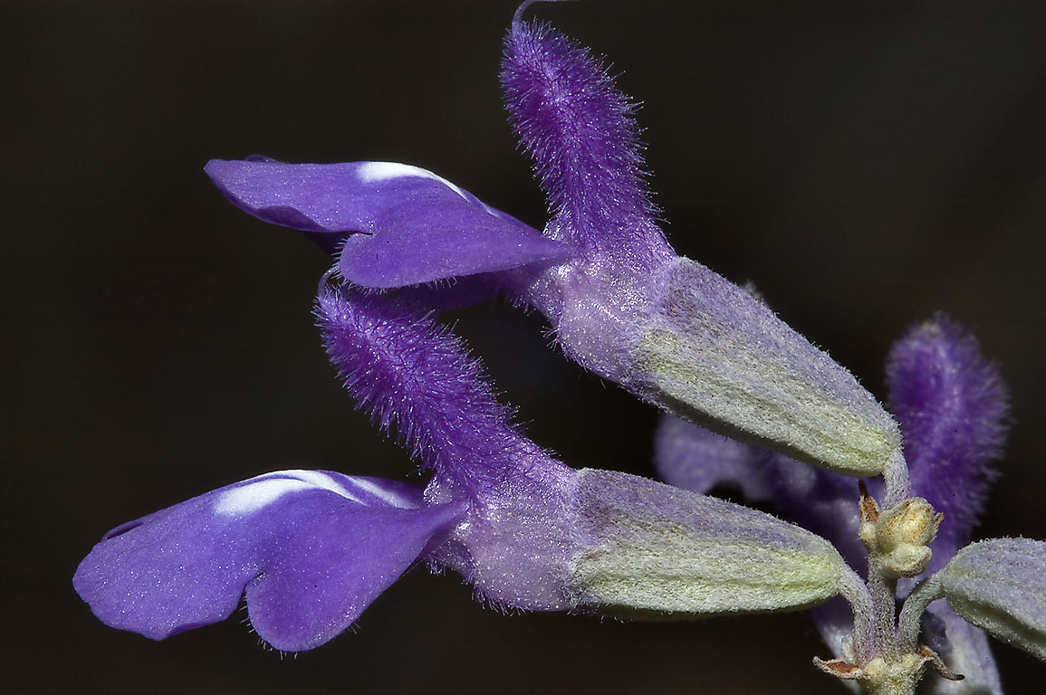 Blue flowers of mealy sage (Salvia farinacea) on...Falls State Park. Johnson City, Texas