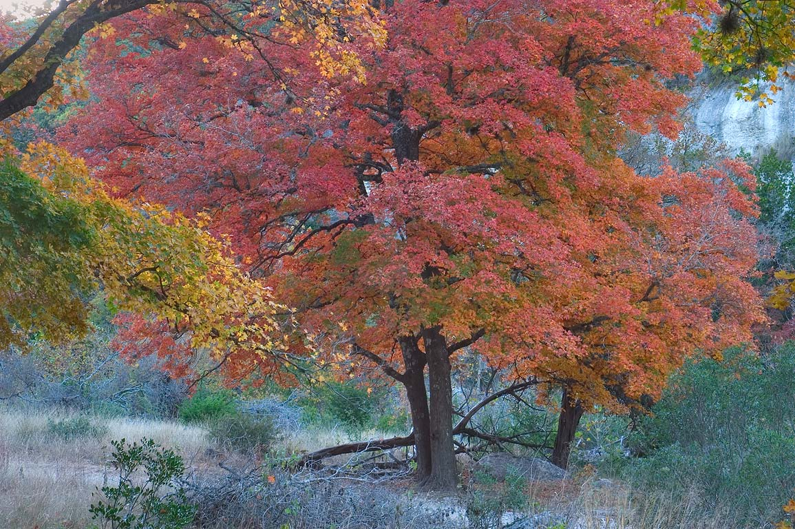 Red foliage of maple trees in Lost Maples State...Area, on East Trail. Vanderpool, Texas