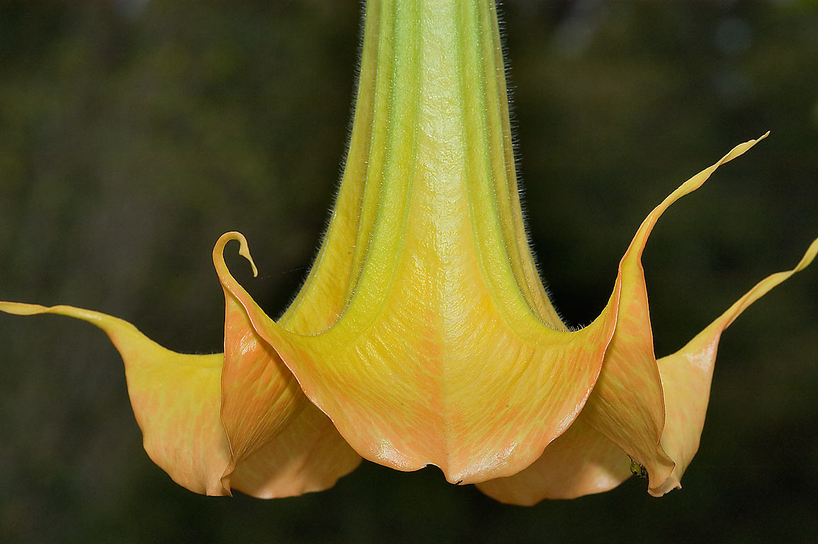 Angel's trumpet (Brugmansia candida) in TAMU...M University. College Station, Texas