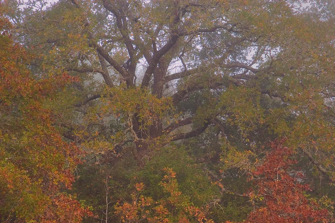 Oak in Lick Creek Park. College Station, Texas