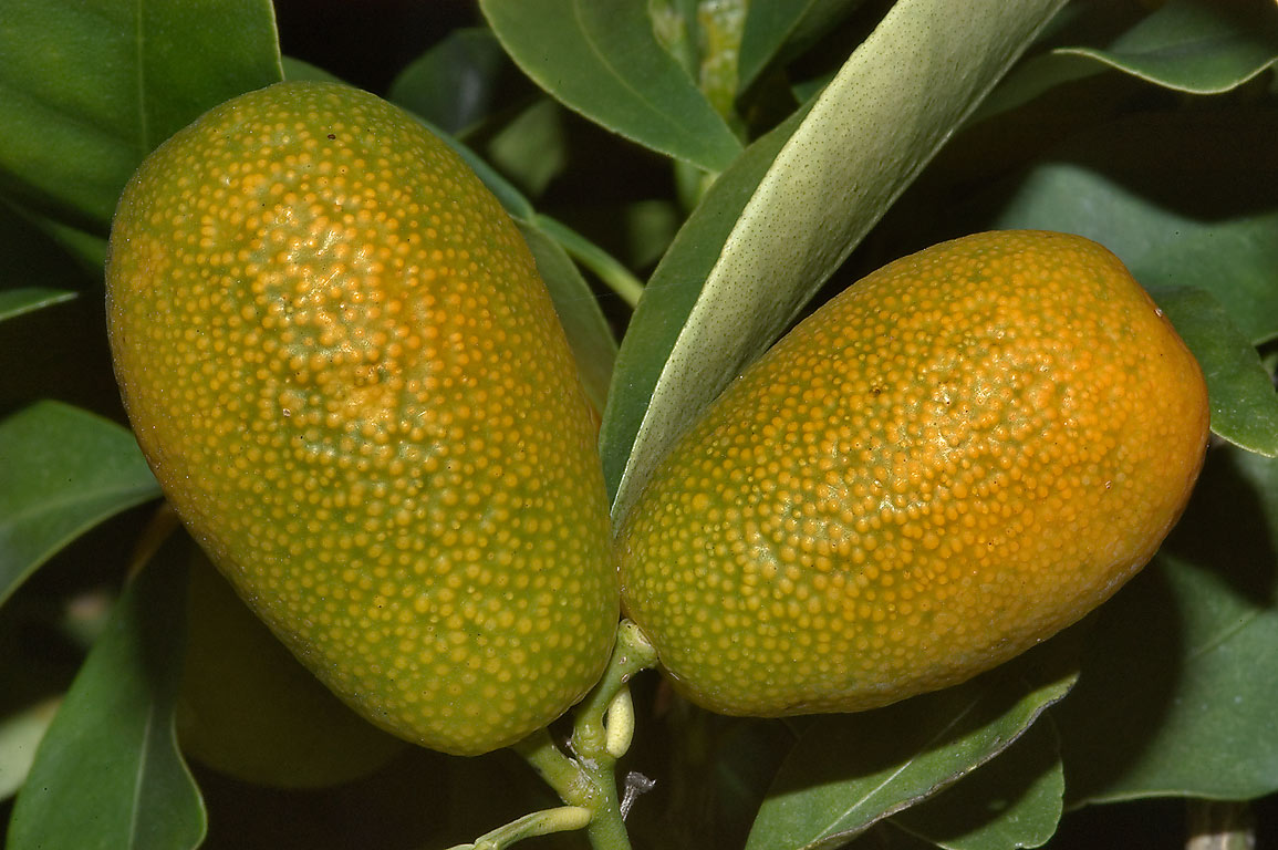 Fruits of a citrus Oval Kumquat (Fortunella...M University. College Station, Texas