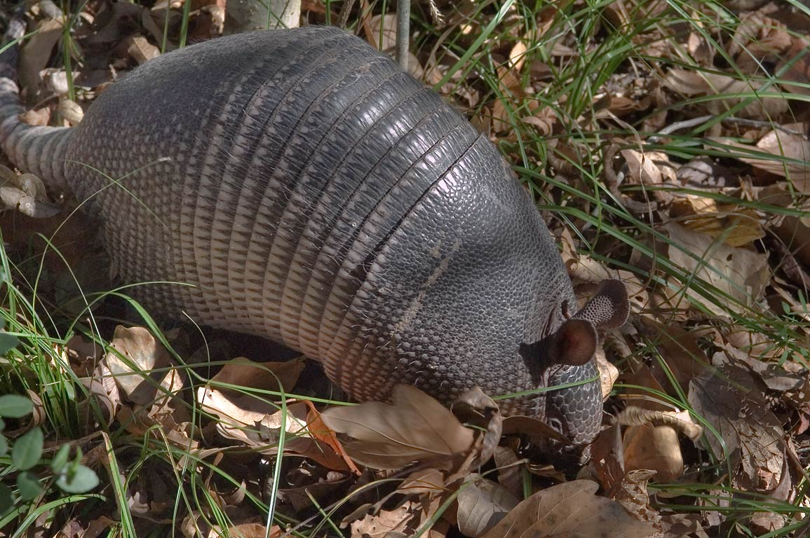 Armadillo near Iron Bridge Trail in Lick Creek Park. College Station, Texas