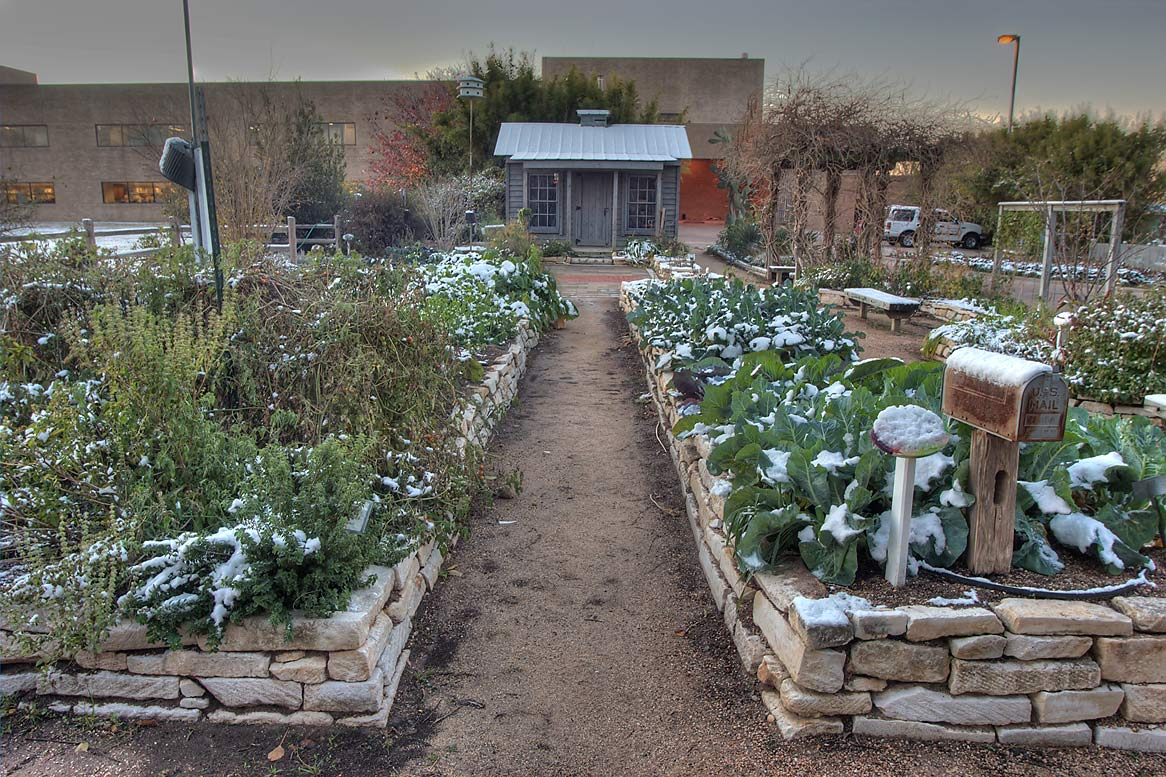 Vegetable garden with snow in TAMU Holistic...M University. College Station, Texas