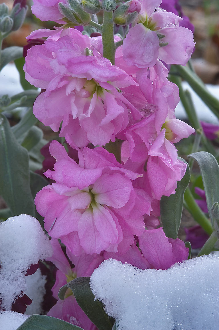Pink flowers with snow in TAMU Holistic Garden in...M University. College Station, Texas