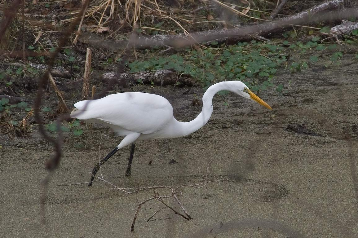 Wading great white egret (Ardea alba) from...Bend State Park. Needville, Texas