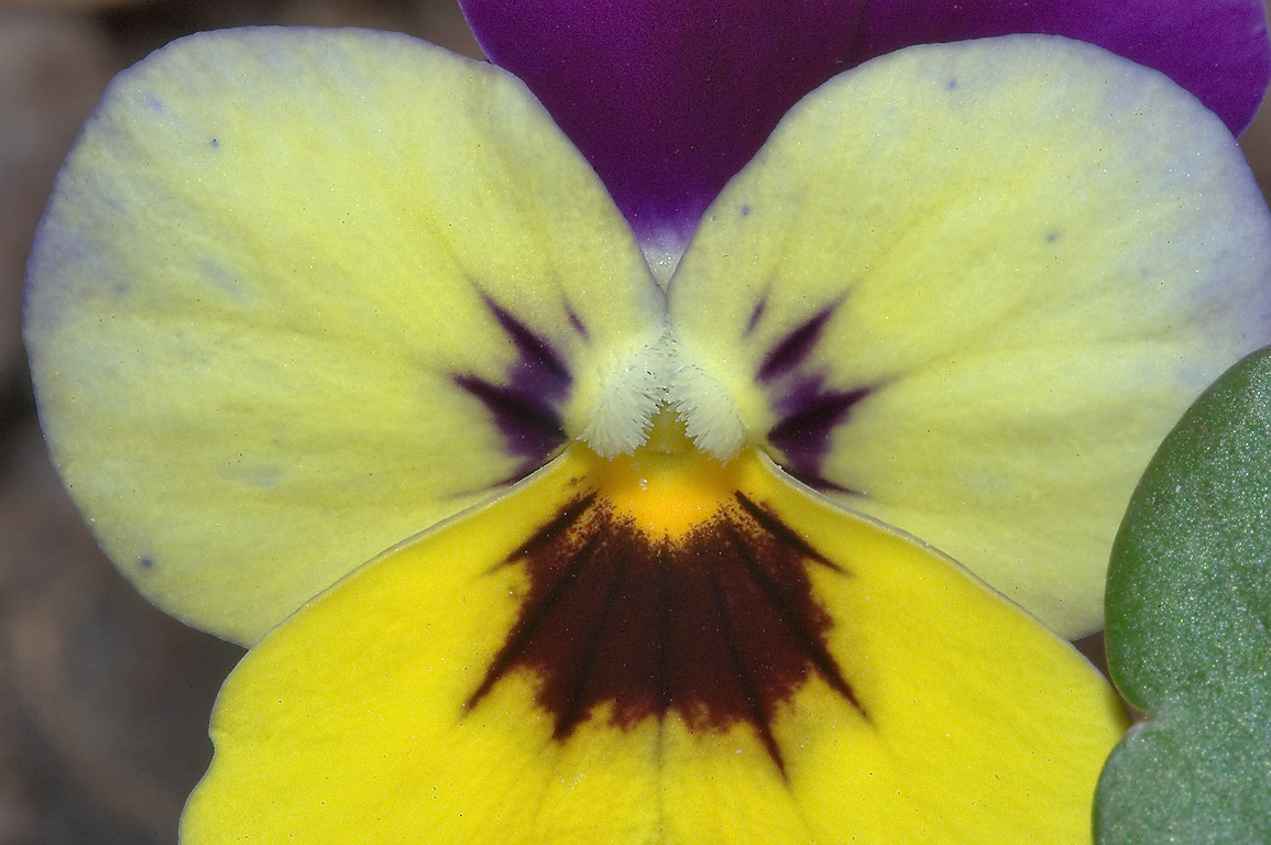 Flower of pansy (Viola tricolor) in TAMU Holistic...M University. College Station, Texas