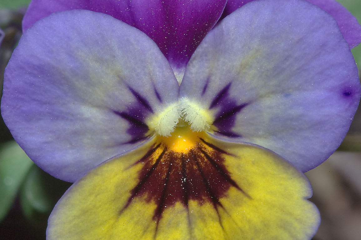 Flower of pansy (Viola tricolor) in TAMU...M University. College Station, Texas