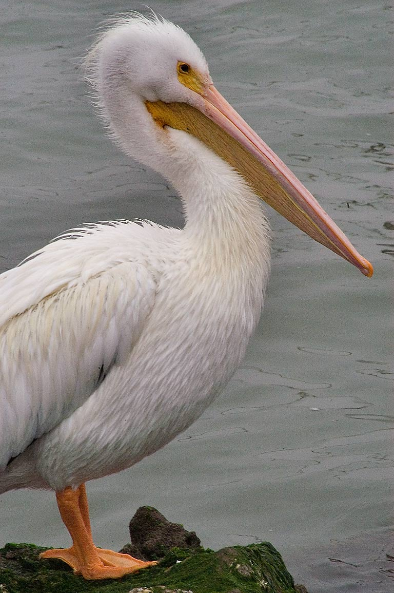 White pelican near Pier 21. Galveston, Texas