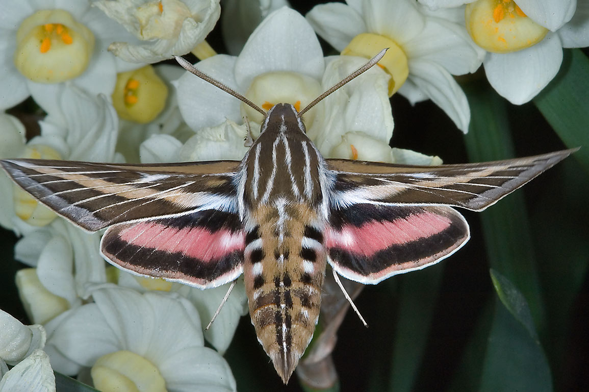 White-lined sphinx (Hummingbird hawk-moth, Hyles...M University. College Station, Texas
