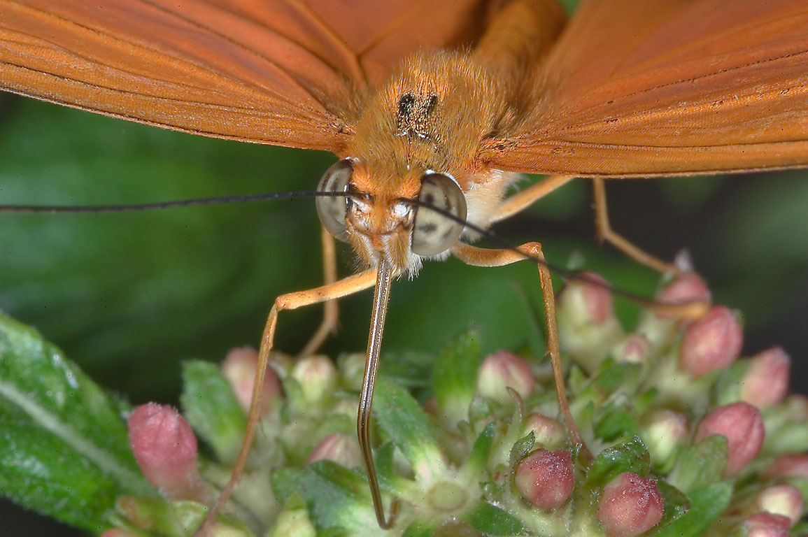 Close-up of Dryadula Phaetusa butterfly in...of Natural Science. Houston, Texas