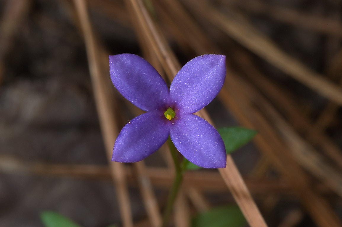 Tiny violet flower of Small bluets (Hedyotis...National Forest. Richardson, Texas
