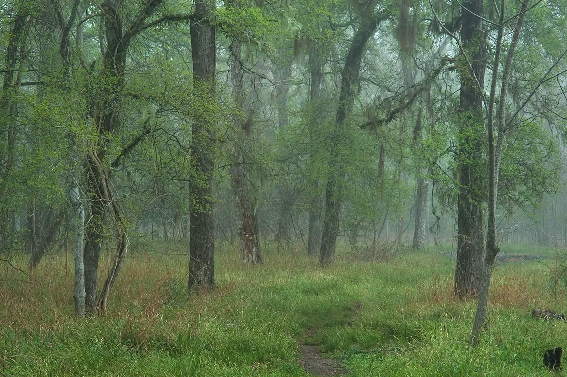 Forest near Macik Crossing of Racoon Run Trail in...Park, in fog. College Station, Texas