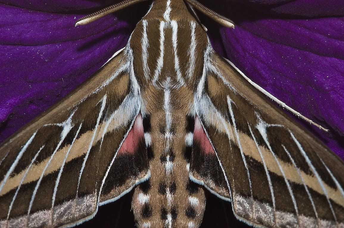 White-lined sphinx moth (Hummingbird moth, Hyles...M University. College Station, Texas