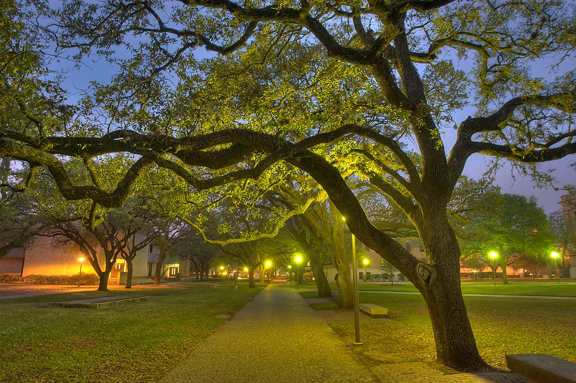 Oak alley of Military Walk at twilight on campus...M University. College Station, Texas