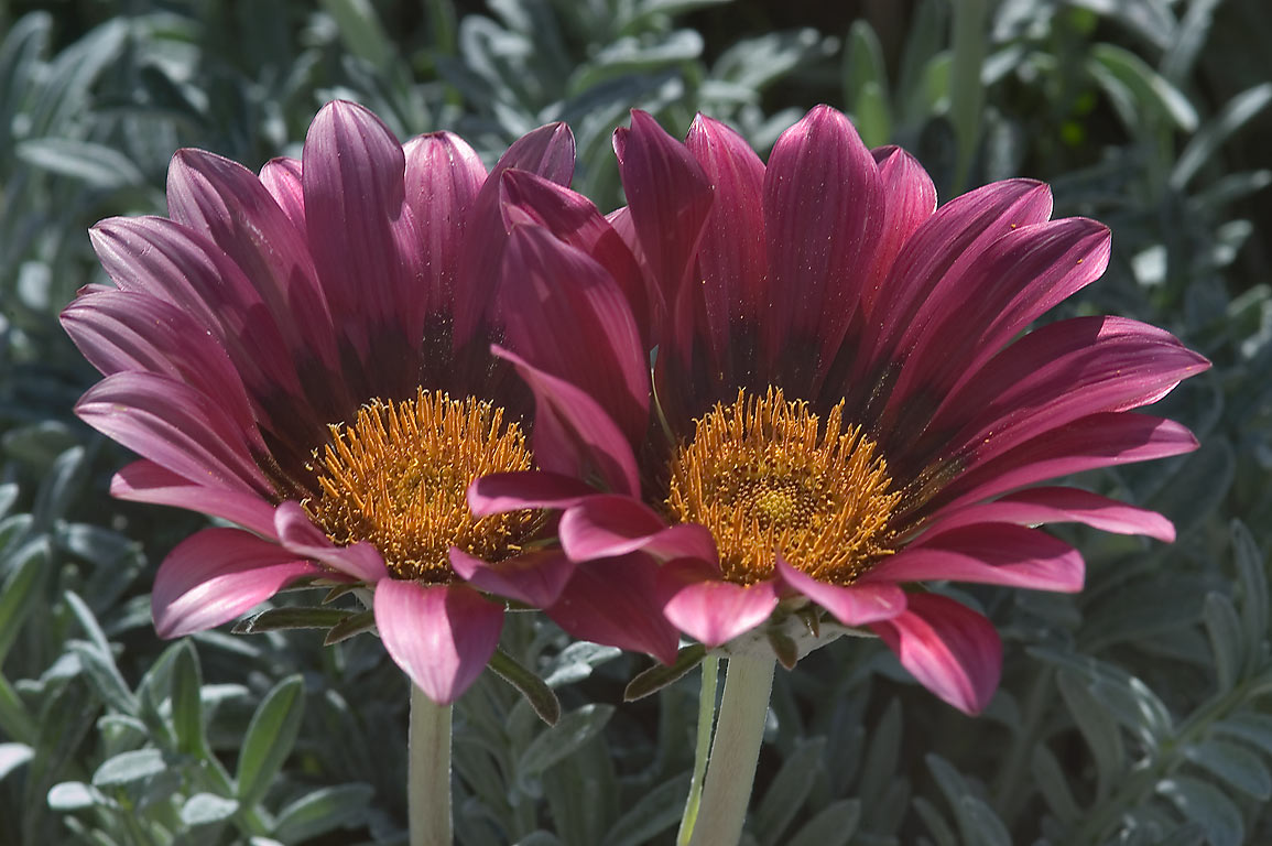 Pink gazania flowers in TAMU Holistic Garden in...M University. College Station, Texas
