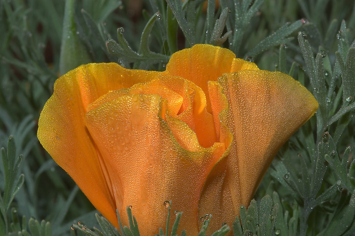 Mexican gold poppy (Eschscholzia mexicana) in dew...M University. College Station, Texas