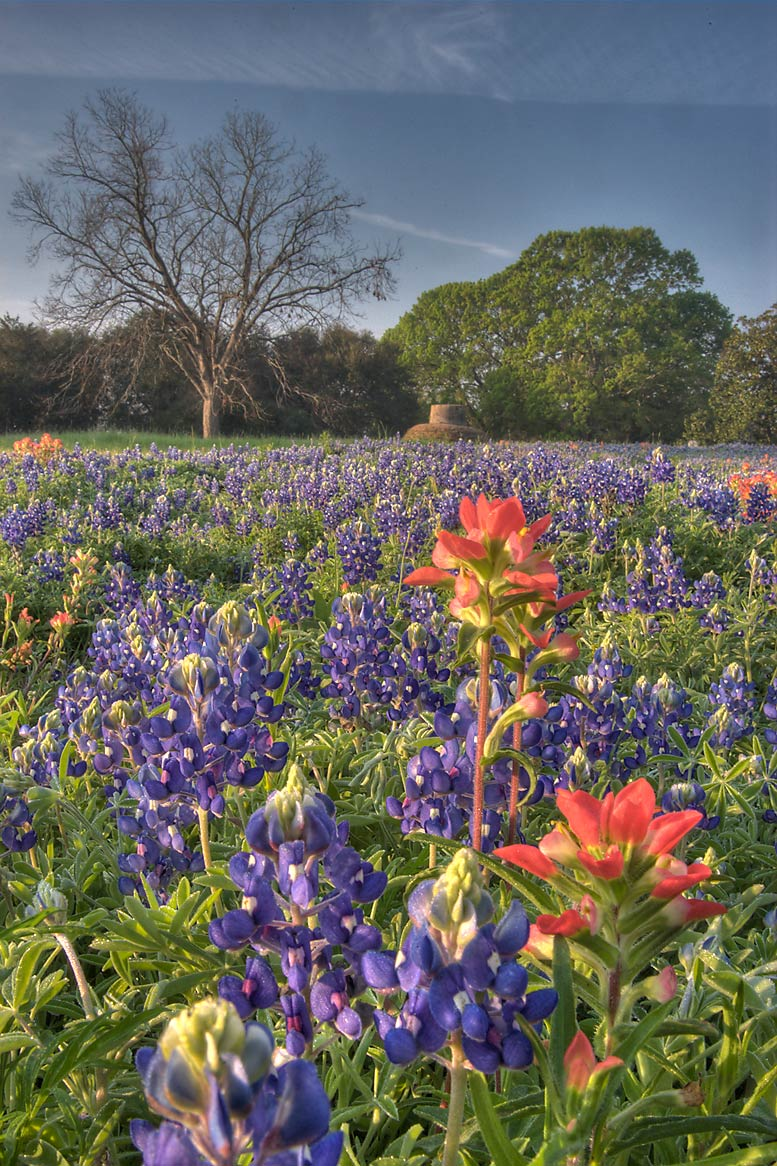 Field of wildflowers in Washington-on-the-Brazos State Historic Site. Washington, Texas