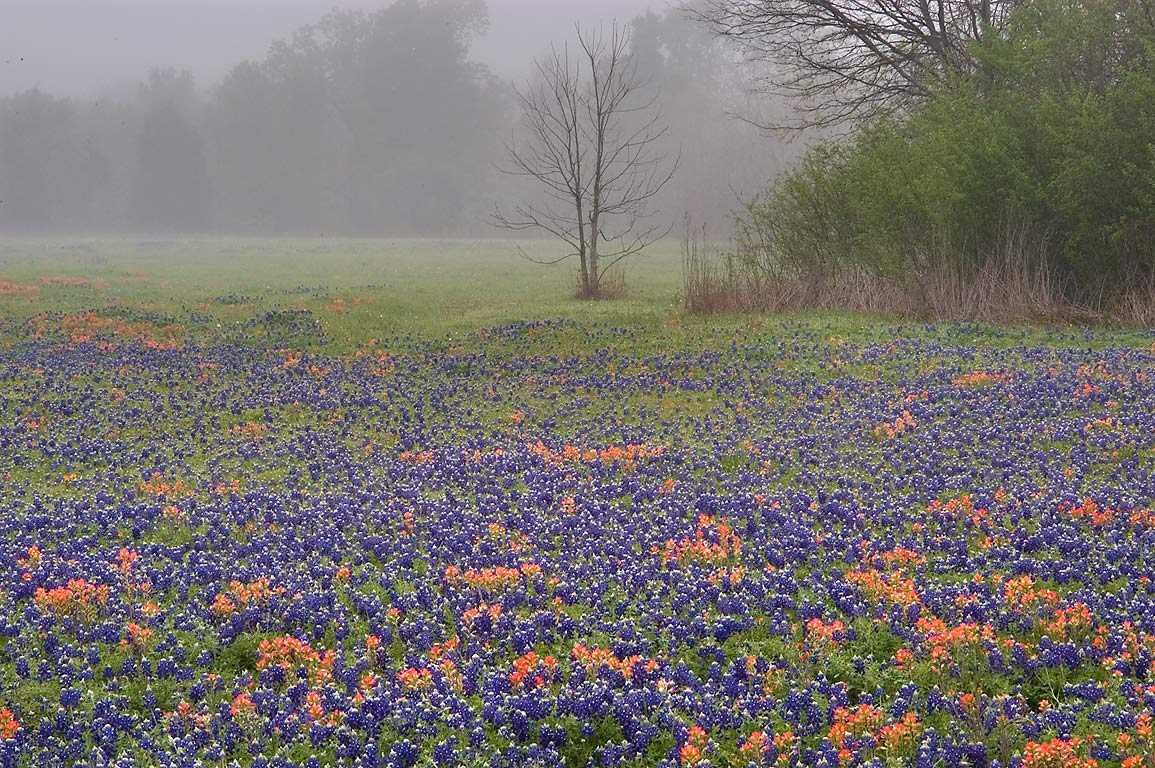 Field of wildflowers in mist at Old Washington...State Historic Site. Washington, Texas