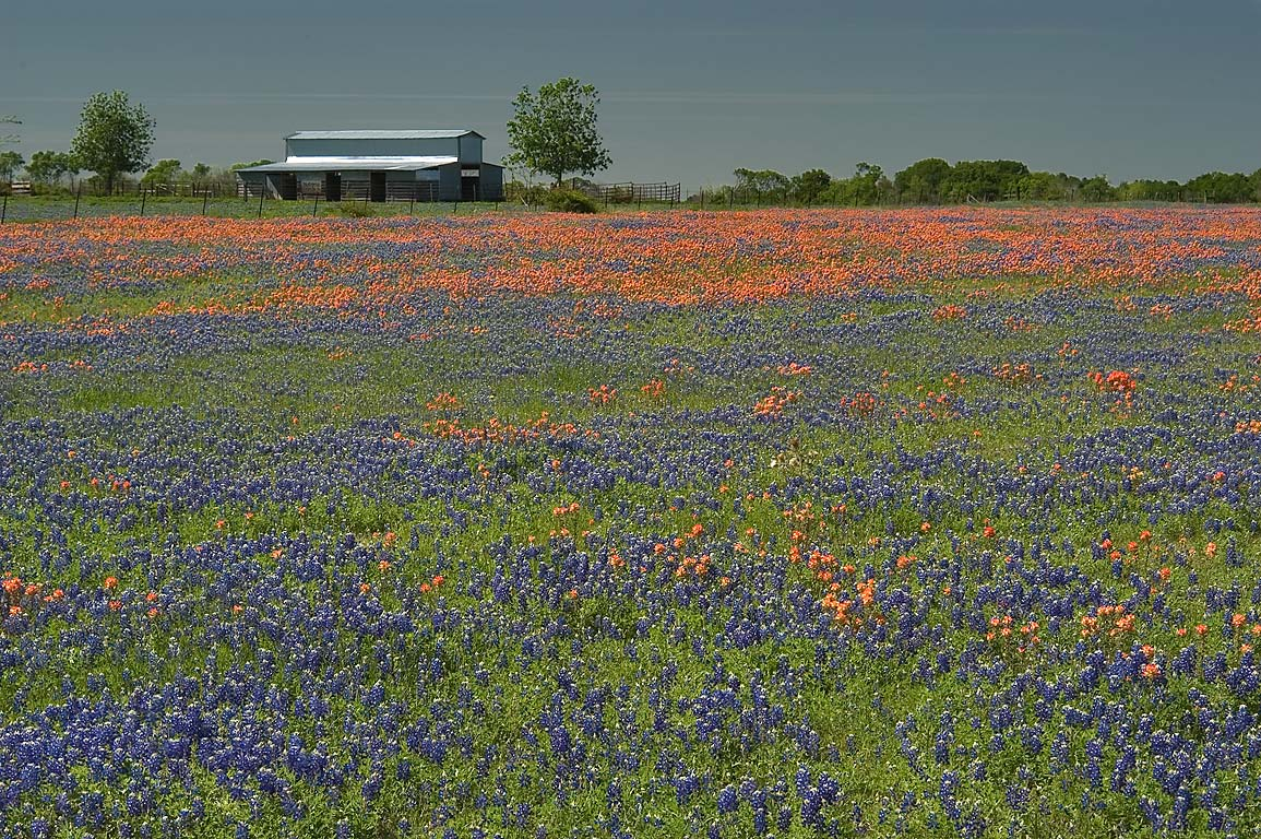 Field of wildflowers 13 miles west from Montgomery, at Rd. 105. Texas