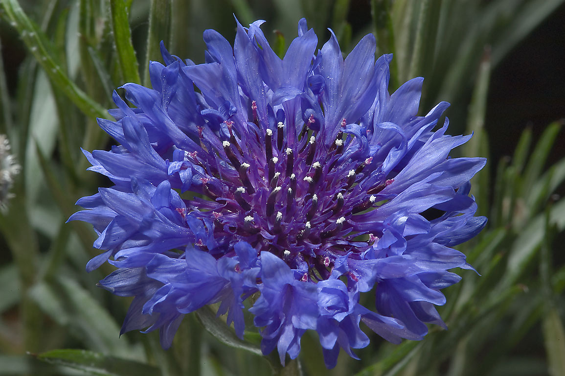 Cornflower (Centaurea cyanus) in TAMU Holistic...M University. College Station, Texas